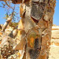 Weihrauchbaum-Boswelia-sacra-Olibanum-Oman-10