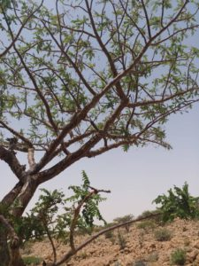 Boswellia Carterii Baum in Ufeyn Puntland