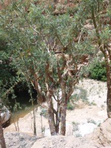 Boswellia Carterii Baum und Blätter