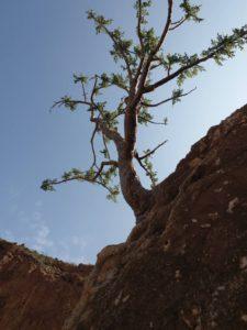 Boswellia Frereana Baum Tree