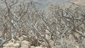 Boswellia Sacra Hougari Weihrauch Bäume
