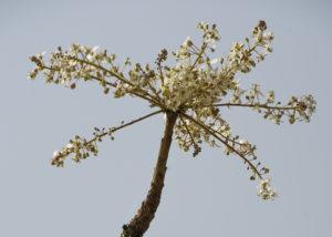Die Blüte des Boswellia Dalzielii
