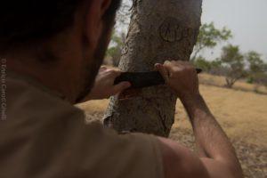 Ein Freund beim Anschneiden des Boswellia Dalzielii in Burkina Faso