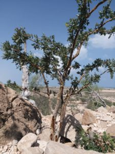 Maydi Baum Boswellia Frereana auf Steingrund