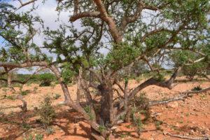 Mirafur Boswellia Neglecta im Grenzgebiet