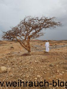 Weihrauchbaum Oman Boswellia Sacra