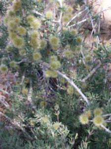Weihrauchbaum in Blüte