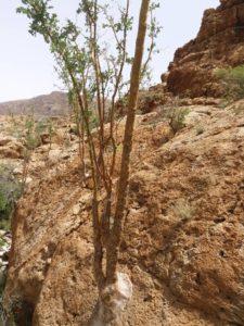 Ein junger Frereana Baum